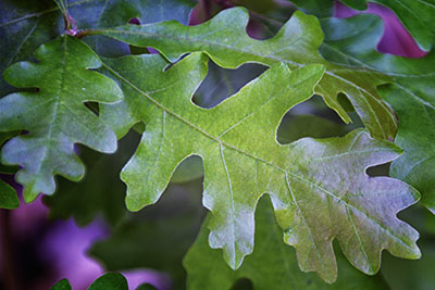 oak_leaves