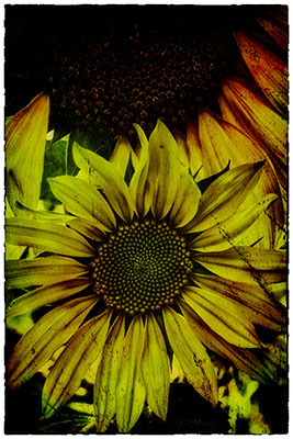 Sunflower_grunge