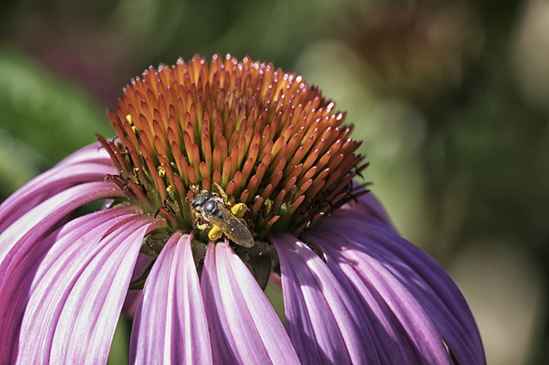 Bee_onconeflower