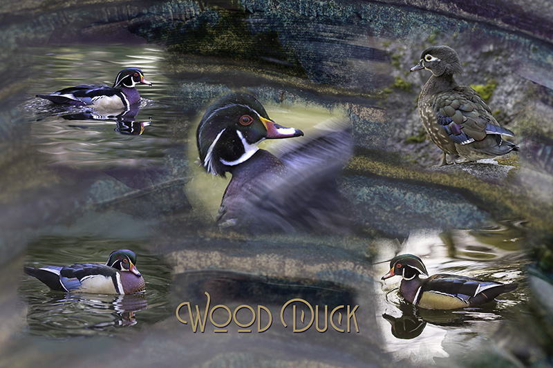 Wood_Duck_Composite