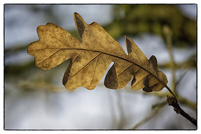 Oak_leaf_gold