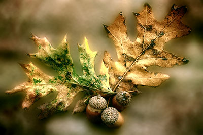 oak_leaves_restyle